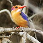 Pygmy kingfisher by Anthony Goldman