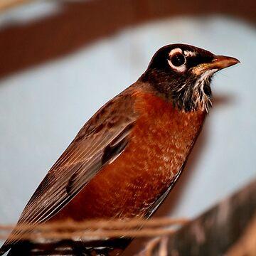 American Robin by umpa1