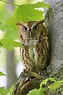 Red Screech Owl by WorldDesign