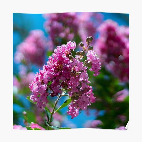 Pink Crepe Myrtle Tree Flowers Poster
