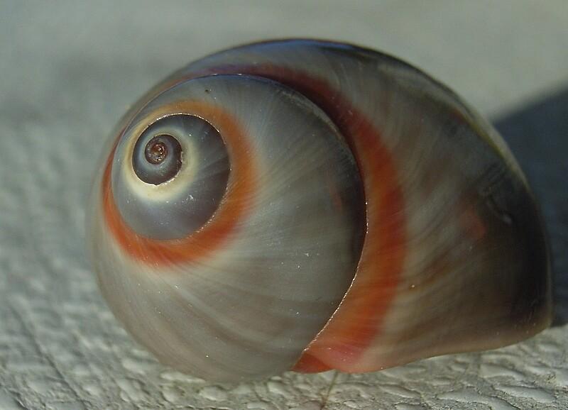 Sea snail shell no 2 by valandsnake