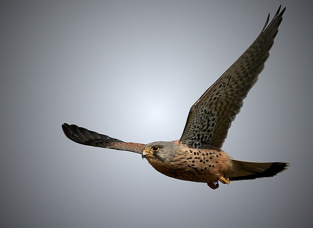 The Kestrel  by snapdecisions