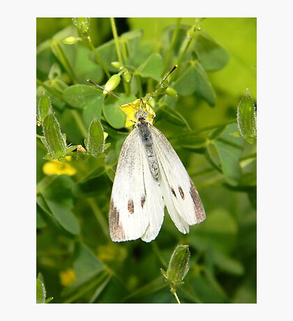 A delicate cabbage white butterfly. Photographic Print
