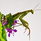 Mantis 3 by Albert Dickson
