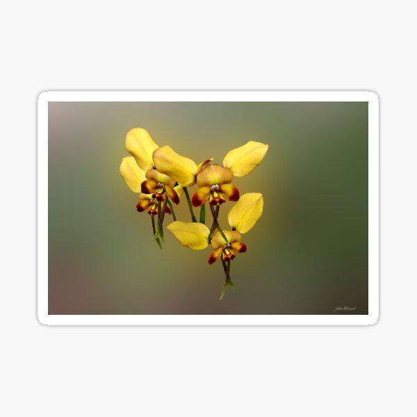 Dainty Donkey Orchid, Diuris aff recurva Sticker
