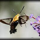 Humming Bird Moth by Dennis Cheeseman