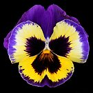 Pansy by Brian Haslam