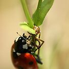 Ladybug by KatsEyePhoto