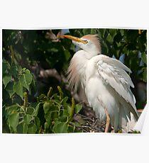 Mother Cattle Egret Poster