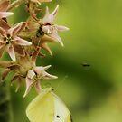 Common White Butterfly on Milkweed by KatsEyePhoto