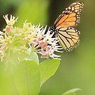 Monarch Butterfly 2 by KatsEyePhoto