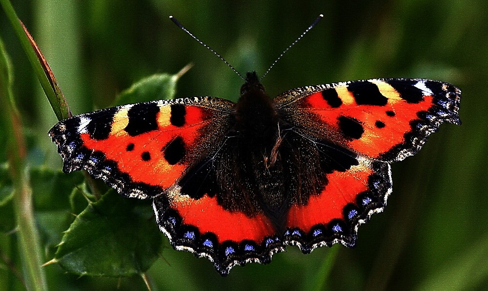 Small Tortoiseshell  by snapdecisions