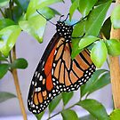 Monarch Butterfly by adbetron