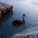 Morning Swan by Michael Treloar