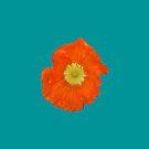 Orange Mohnblume von STHogan
