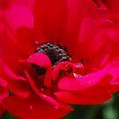 Poppy by Lozzar Flowers & Art