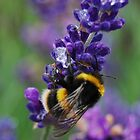 a bee and lavender by Kyoko Beaumont