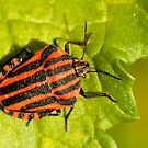 Red & Black Shieldbug by Robert Abraham