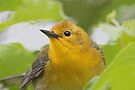 Prothonotary Warbler Portrait by WorldDesign