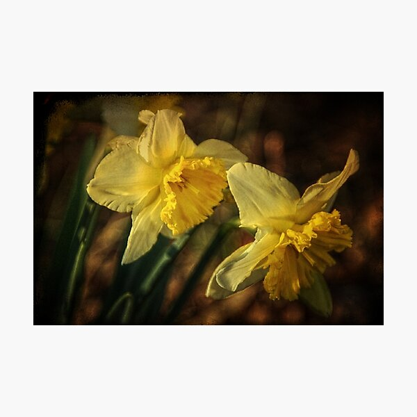 Daffodil Afternoon Photographic Print