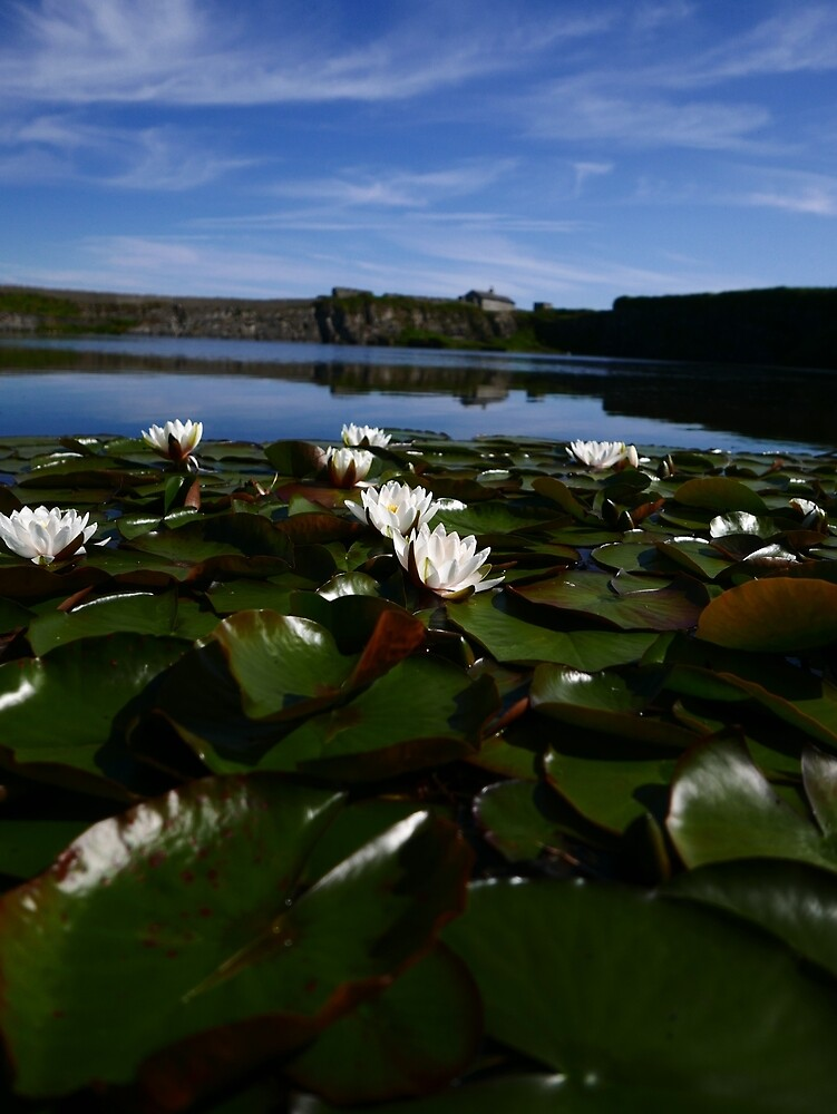 White Water Lily (Nymphaea alba) by IOMWildFlowers