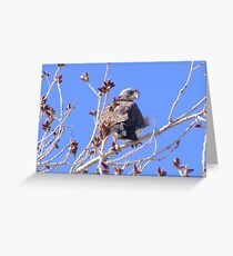 Swainsons Hawks Lookout Greeting Card