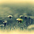 Dandelions  by Sheri Nye
