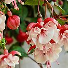Pink and White Fuschia Hanging Plant by KnutsonKr8tions
