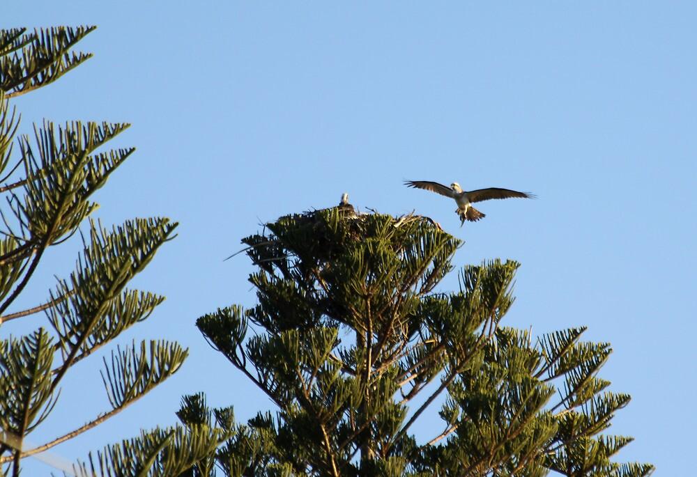 Clever Nesting Osprey by byronbackyard