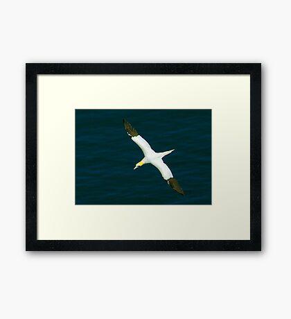 Gannet #1 Framed Print