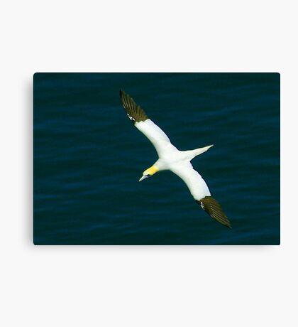 Gannet #1 Canvas Print