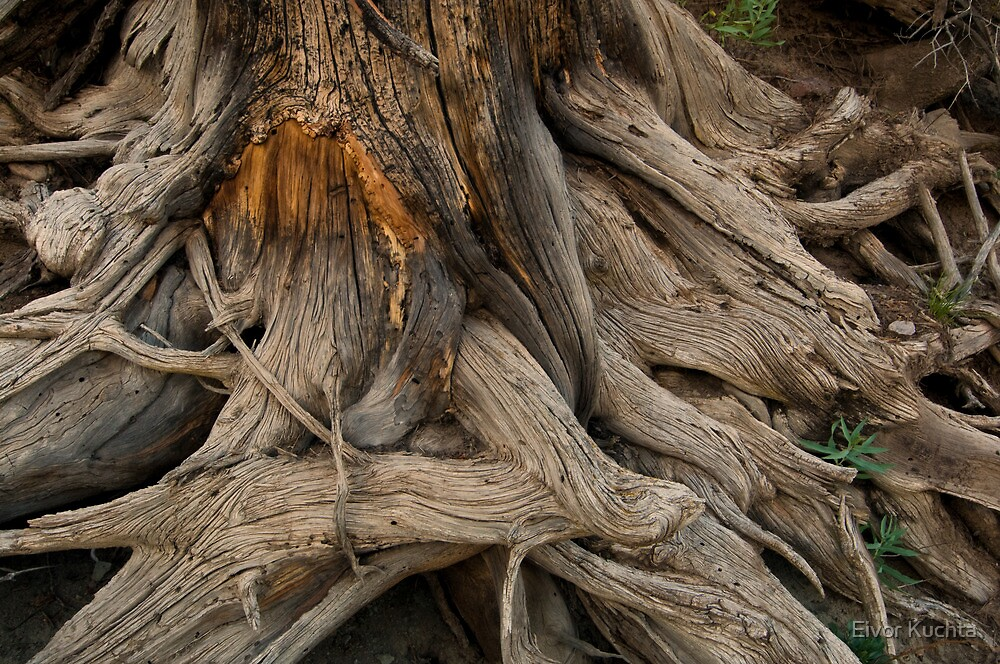 Tree roots by Eivor Kuchta