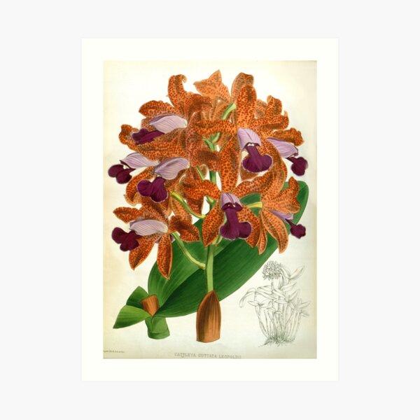 Cattleya Guttata Leopoldii Lindenia Orchid Art Print