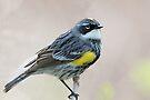 Yellow-rumped Warbler by WorldDesign