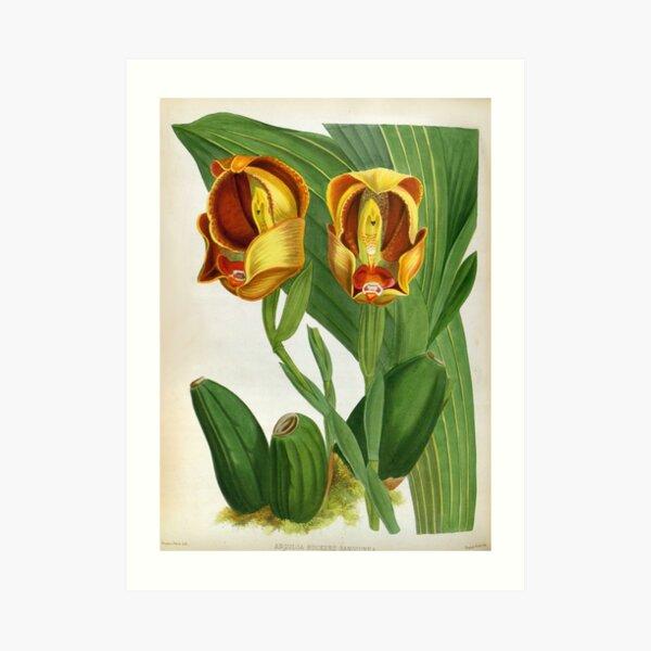 Anguloa Ruckerii Sanguine Lindenia Orchid Art Print