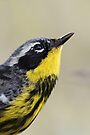 Magnolia Warbler in Breeding Colors by WorldDesign