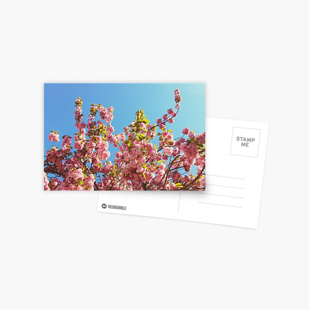 Mothers Day Floral Gift - Cherry Blossoms Photography Postcard