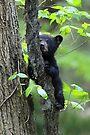 Black Bear Cub by WorldDesign