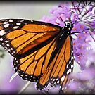 Monarch Butterfly by Dennis Cheeseman