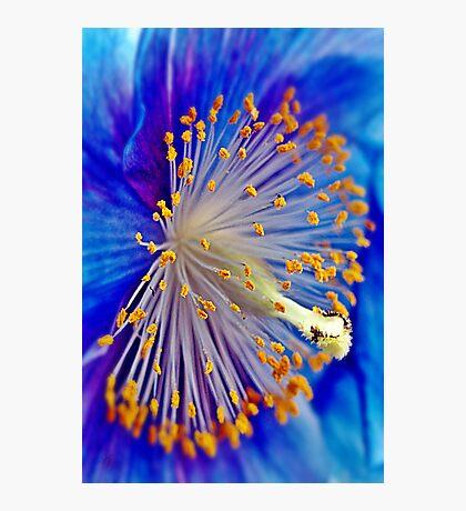 Blue Himalayan Poppy Photographic Print