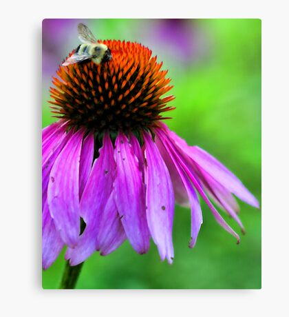 Red Coneflower - Bumble-Bee Canvas Print