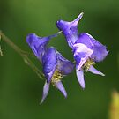 Monkshood by Arla M. Ruggles