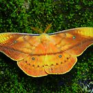 Giant Silk Moth (Copaxa syntheratoides) - Costa Rica by Jason Weigner