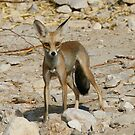 Desert Fox by David Clark