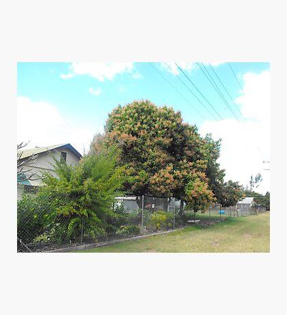 Mango Tree in Bloom Photographic Print
