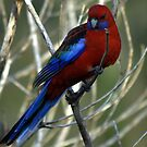Crimson Rosella by Vikki Shedden Photography
