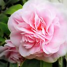 Pink Camelia - Garden Beauty by EdsMum