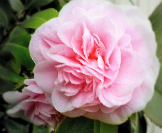 Pink Camelia - Garden Beauty by EdsMum