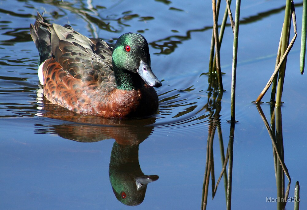 Male Chestnut Teal  by Marlin1956
