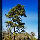 Pine Tree Forest by busidophoto